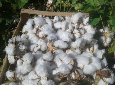 Natura e Benessere: Alla scoperta della pianta del cotone