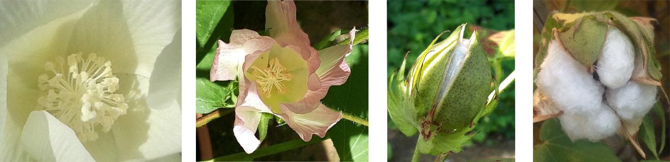 fiore pianta del cotone