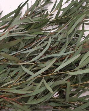 Mazzetto di eucalipto nicholii biologico - Oligea
