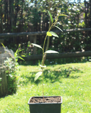 pianta giovane eucalipto robusta